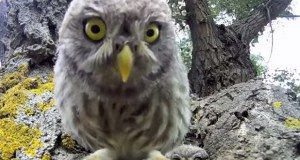 Funny video: cutest owlets starring on web