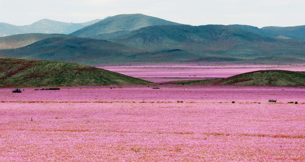 One of Earth's driest places is currently covered with a multitude of pink flowers