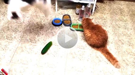 cucumber vs cats
