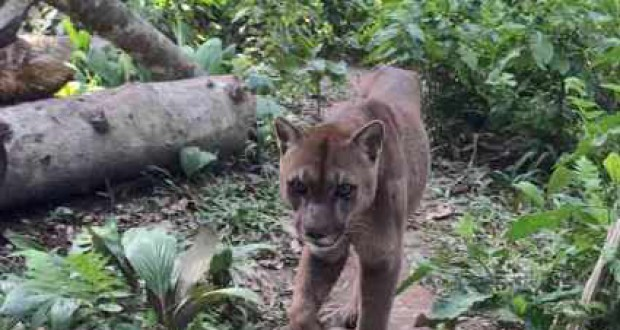 Mufasa the mountain lion freed from travelling circus after 20 years
