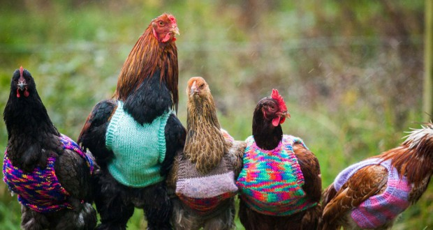 In England a woman found a smart way to keep her chickens warm in winter