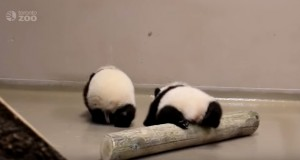 Adorable baby pandas making their first steps