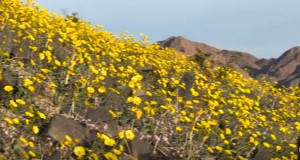 Rare 'superbloom' blankets Death Valley