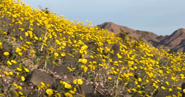 Rare 'superbloom' blankets Death Valley