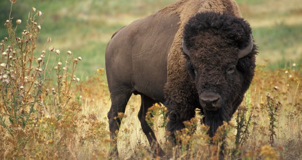 Bison about to be national mammal of the U.S.
