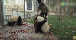 Giant pandas having fun while the staff is trying to clean their house