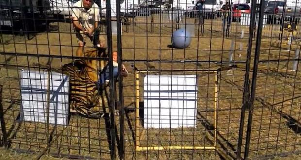 Tiger attacks trainer during Florida fair