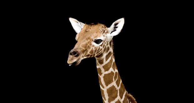 Baby giraffe makes first public appearance in Amsterdam zoo - video