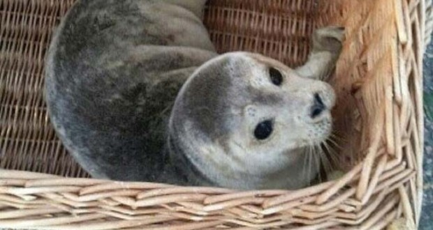 Seal rescued at holiday park beach in the Netherlands