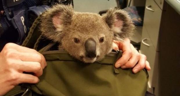 Australian police found baby koala in woman's bag