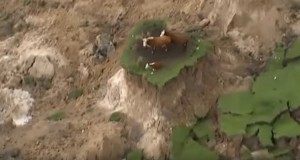 Three cows rescued from land patch after earthquake in New Zealand