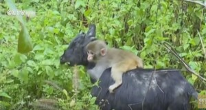 Baby monkey finds remarkable way to travel