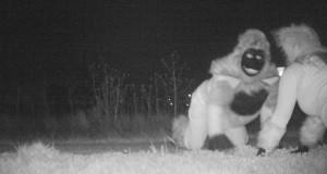Police surveillance discovers 2 gorillas and a werewolf in Kansas park