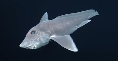 Ghost shark caught on film for first time – video