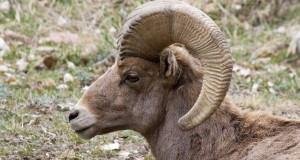 Bighorn sheep smashes glass door after confronting his own reflection