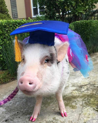 Therapy pig LiLou helps soothe stressed travelers