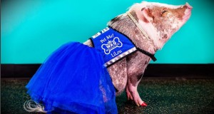 Therapy pig LiLou helps soothe stressed travellers