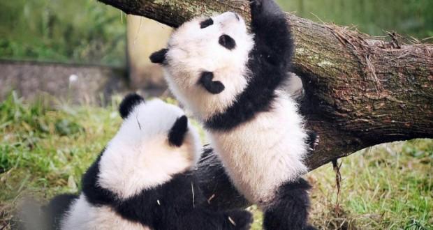 Panda Twins Debut at China Chongqing Zoo - Video