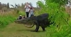 No Hoax: Massive alligator caught on video in Florida