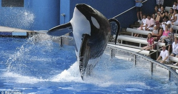 Orca Tilikum, who starred in Blackfish and once killed a trainer, dies after 33 years in captivity