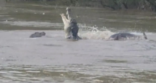 Australia crocodiles filmed fighting over dead buffalo on Northern Territory river
