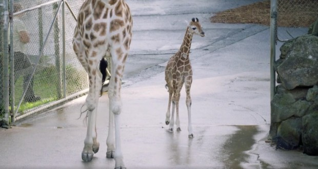 Surviving Baby Giraffe Takes First Steps in New Zealand Zoo