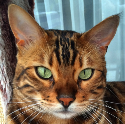 Thor the Bengal / Facebook