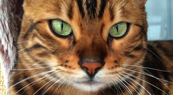 Thor the Bengal cat – a new star of the Internet