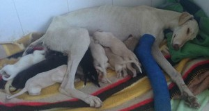Dog with broken leg leads vets two miles to her puppies