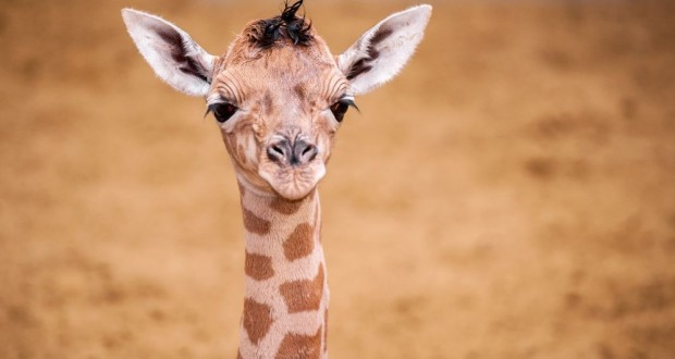 Two Baby Giraffes Born in Two Weeks in Belgian Zoo, And You Can Vote For Names