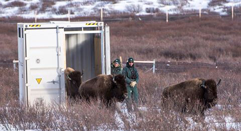 Wild Bison Return To Canada National Park After More Than Century