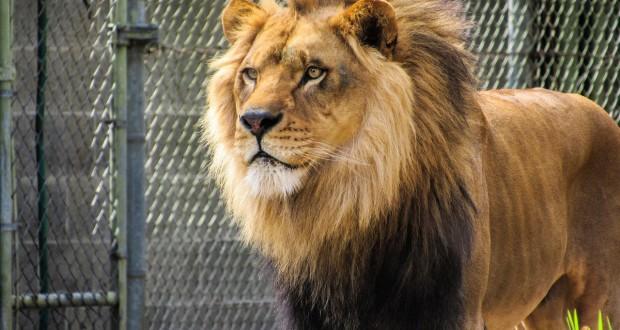 Rare Black-Maned Ethiopian Lion Caught on Video