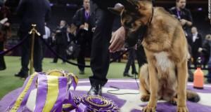 Westminster Dog Show: Rumor the German shepherd is Best in Show