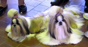 8 Dogs to Watch at the 2017 Westminster Kennel Club Dog Show