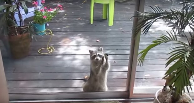 Smart Raccoon Knocks On Woman's Door Every Day, Asks For Food For Her Family