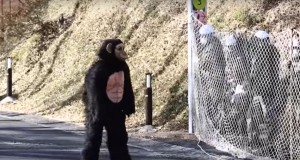 Watch This Bizarre Zookeepers Drill As They Chase Down Man In Chimpanzee Suit