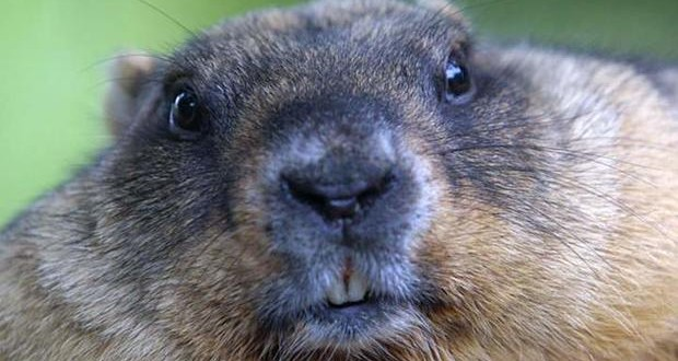 Top 10 Facts About Groundhogs
