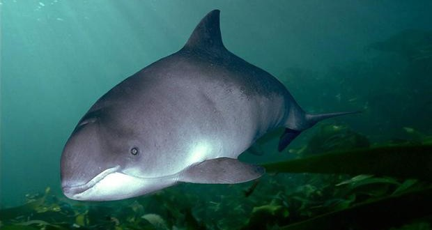 World's Most Endangered Marine Mammal Are Inches From Extinction, Just 30 Of Them Left