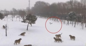 Watch Siberian tigers knocking a drone down