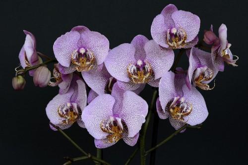 orchids-1528330_1280