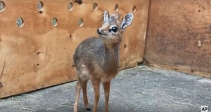 UK zookeepers care for ADORABLE tiny baby antelope named Thanos - video
