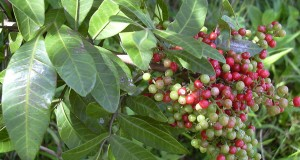 Brazilian Peppertree Helps Fight Off Antibiotic-Resistant Superbugs