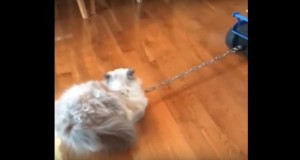 Lazy Cat Likes To Be Pulled By Remote Controlled Car - video