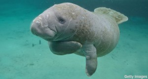 Manatees are no longer an endangered species