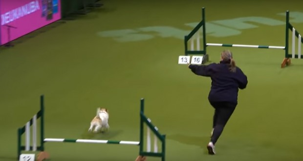 Watch Olly The Terrier Face-Plants His Way To Dog Show Glory