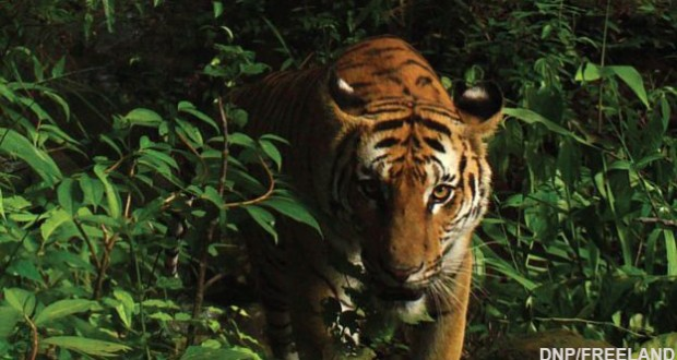 New population of rare tigers found in eastern Thailand