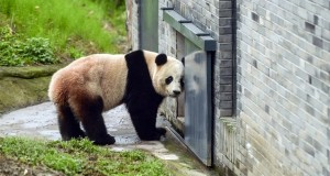 Giant panda Bao Bao makes China debut