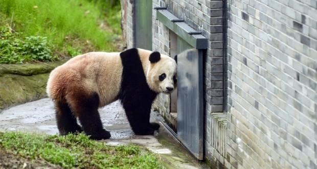 Giant panda Bao Bao makes China debut
