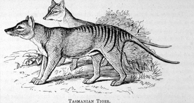 Australian Scientists Hope to Find Extinct Tasmanian Tigers