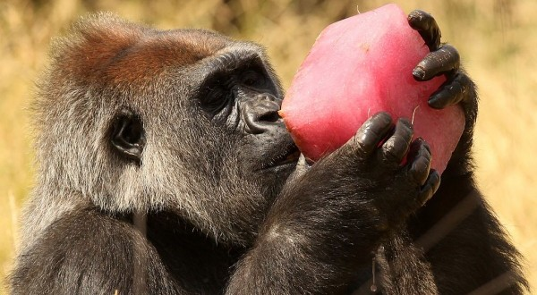 Fruit Diet Helped The Primates' Brain To Evolve